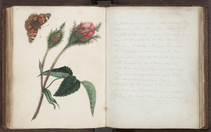Miss Murray's album, coloured pencil drawing with butterfly specimen